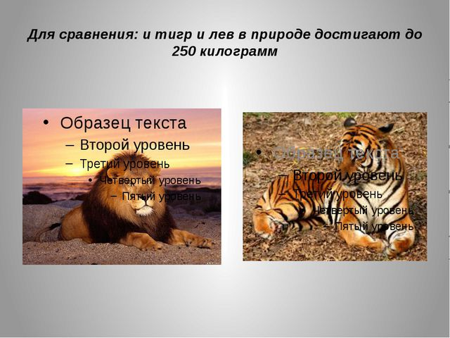 Для сравнения: и тигр и лев в природе достигают до 250 килограмм