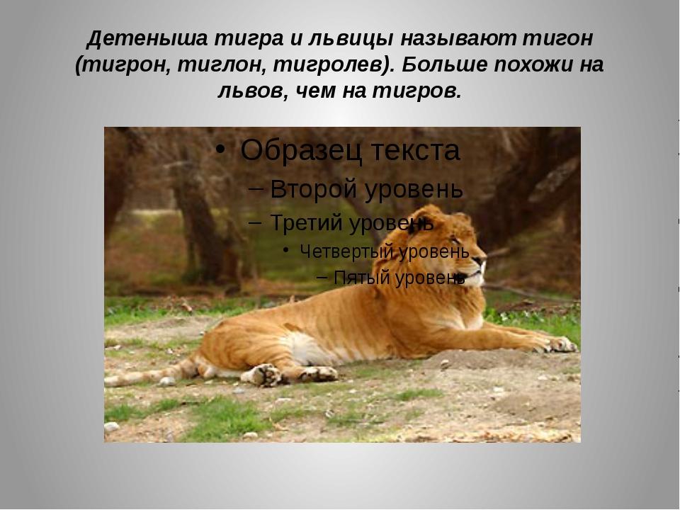 Детеныша тигра и львицы называют тигон (тигрон, тиглон, тигролев). Больше пох...