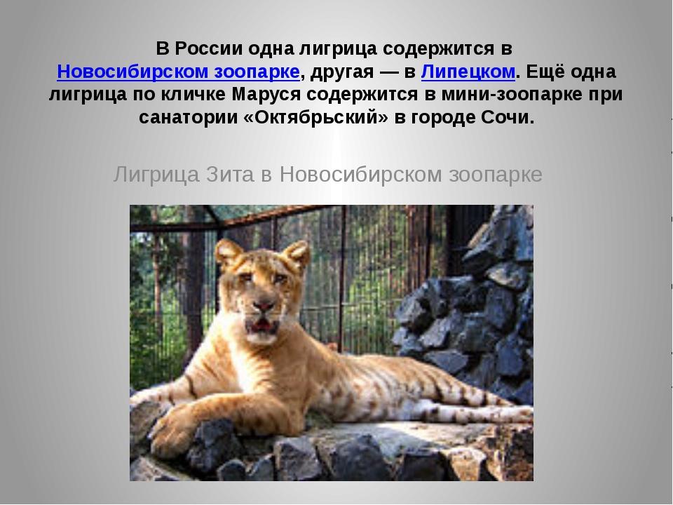 В России одна лигрица содержится вНовосибирском зоопарке, другая— вЛипецко...