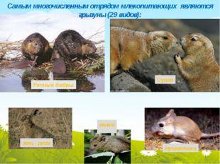 сурки мыши тушканчики Самым многочисленным отрядом млекопитающих являются гр