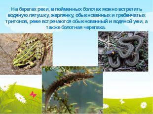 На берегах реки, в пойменных болотах можно встретить водяную лягушку, жерлянк