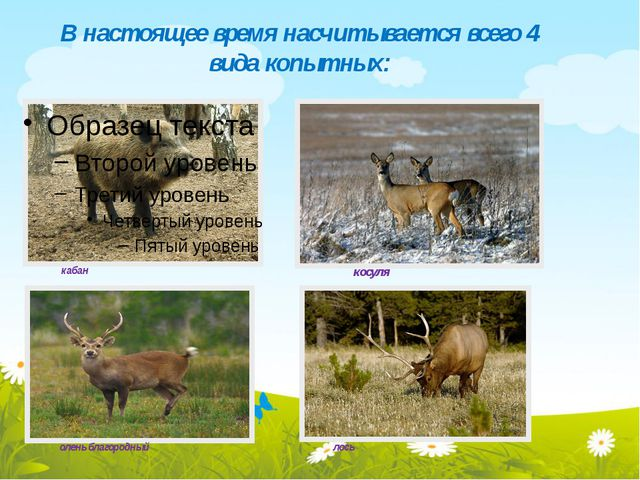 В настоящее время насчитывается всего 4 вида копытных: кабан косуля олень бла...