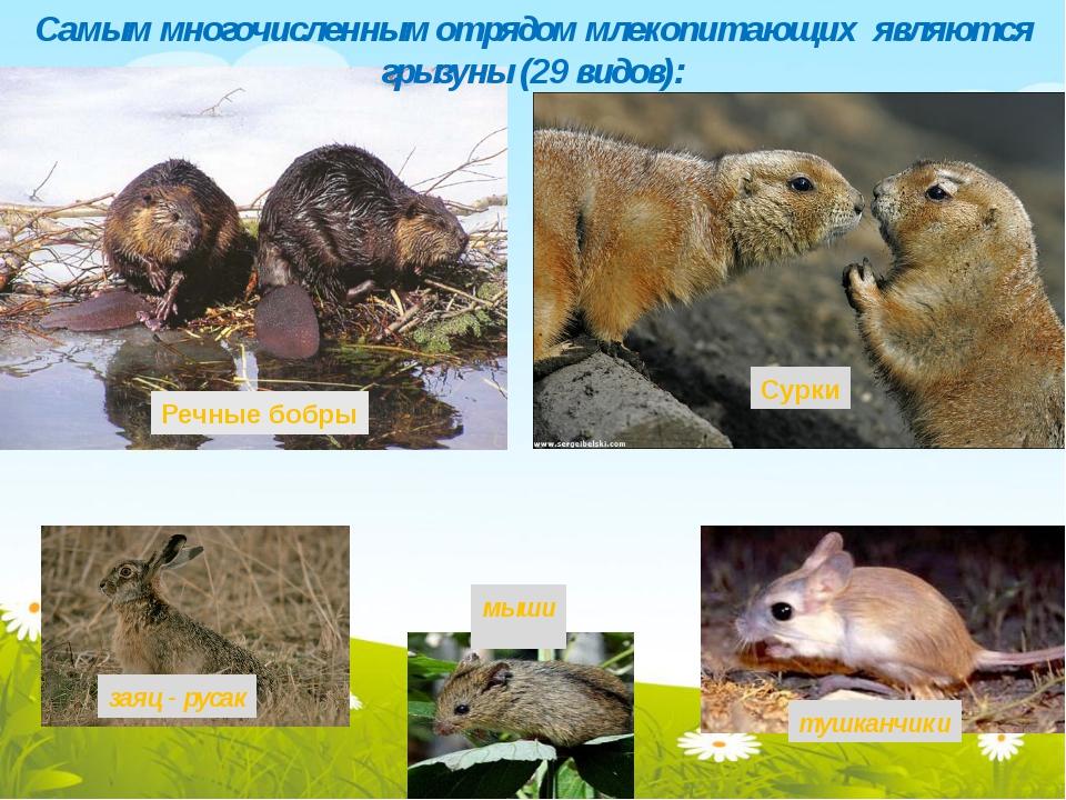 сурки мыши тушканчики Самым многочисленным отрядом млекопитающих являются гр...