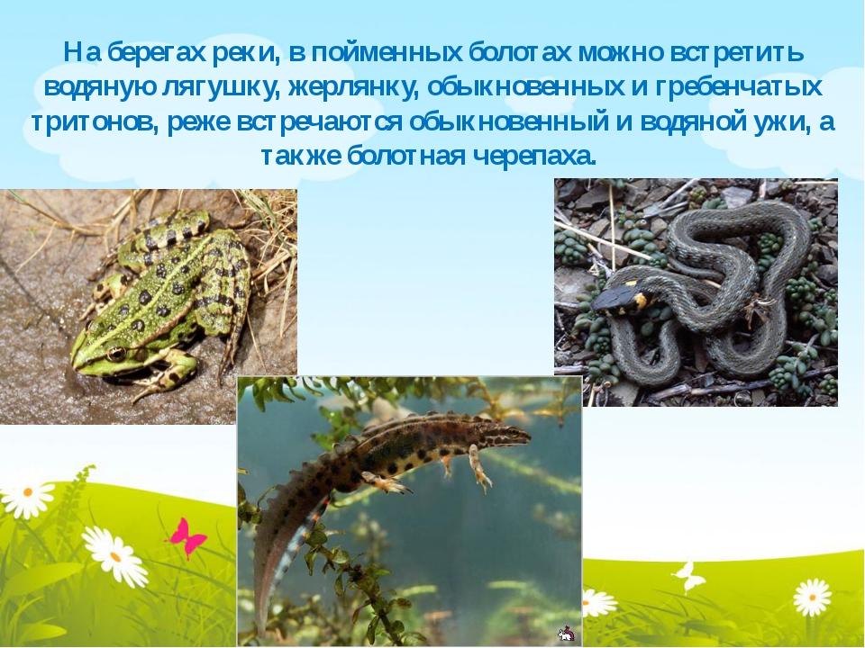 На берегах реки, в пойменных болотах можно встретить водяную лягушку, жерлянк...