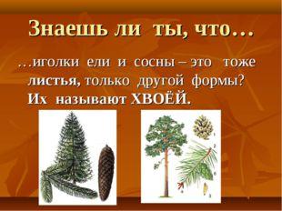 Знаешь ли ты, что… …иголки ели и сосны – это тоже листья, только другой формы