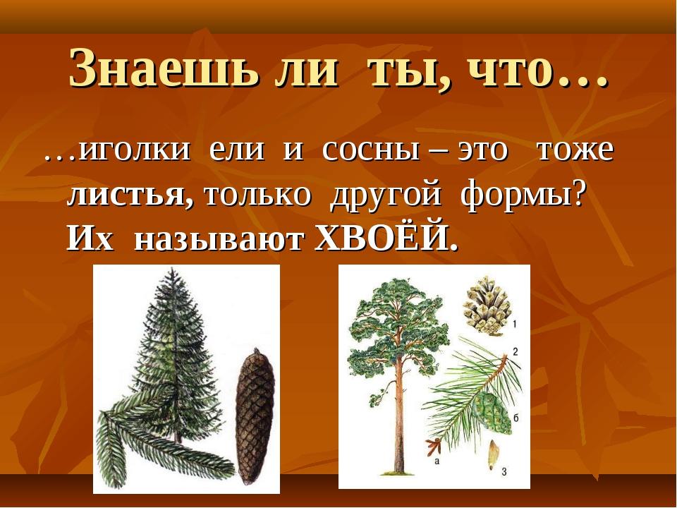 Знаешь ли ты, что… …иголки ели и сосны – это тоже листья, только другой формы...