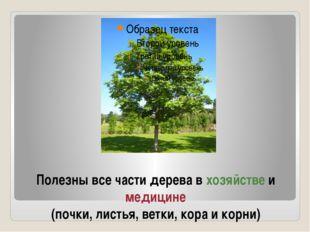 Полезны все части дерева в хозяйстве и медицине (почки, листья, ветки, кора и