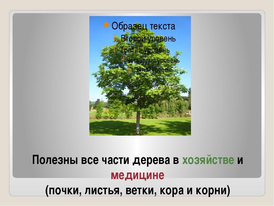 Полезны все части дерева в хозяйстве и медицине (почки, листья, ветки, кора и...