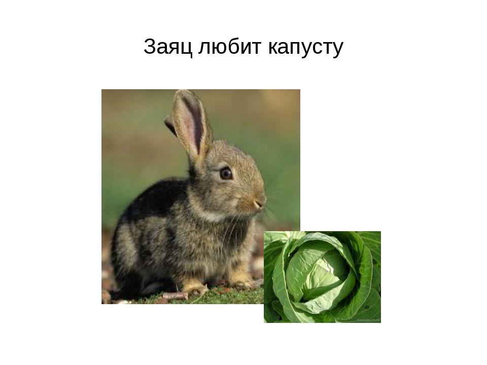 Заяц любит капусту
