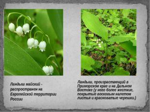 Ландыш майский - распространен на Европейской территории России Ландыш, произ