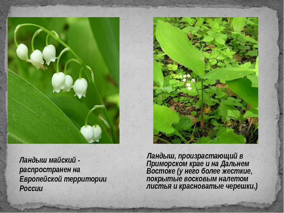 Ландыш майский - распространен на Европейской территории России Ландыш, произ...