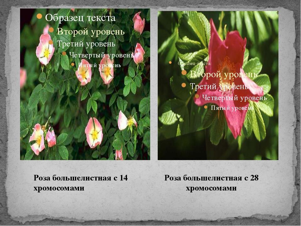Роза большелистная с 14 хромосомами Роза большелистная с 28 хромосомами