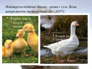 Найморозостійкіші птахи – качки і гуси. Вони витримують температуру до – 110*С.