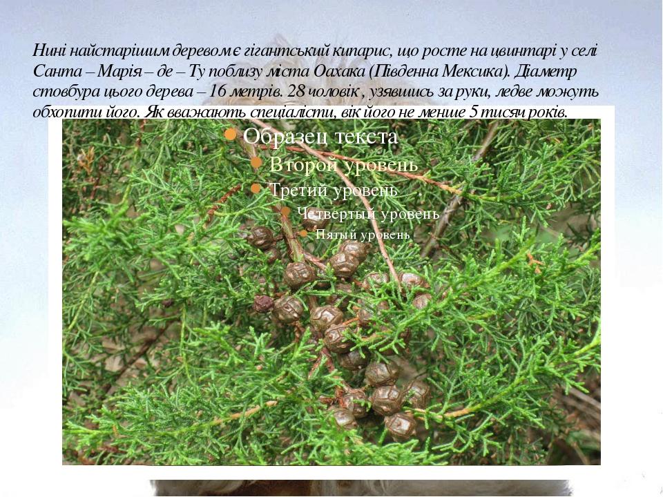 Нині найстарішим деревом є гігантський кипарис, що росте на цвинтарі у селі С...