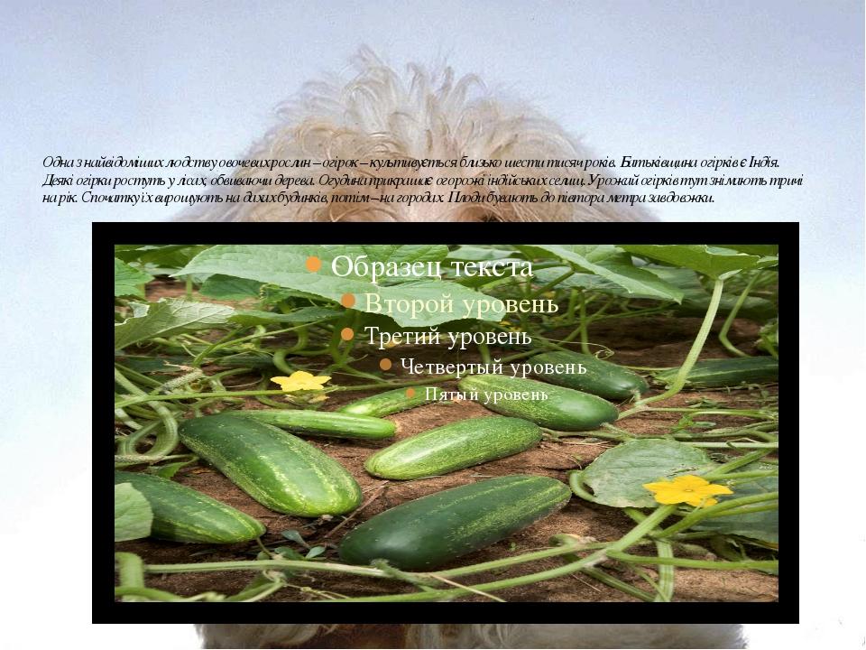 Одна з найвідоміших людству овочевих рослин – огірок – культивується близько...