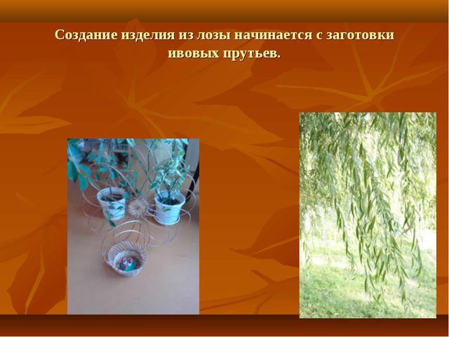 Создание изделия из лозы начинается с заготовки ивовых прутьев.