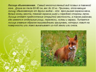 Лисица обыкновенная. Самый многочисленный вид псовых в таежной зоне. Длина е