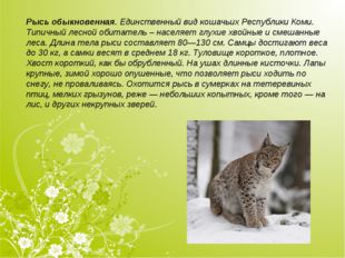 Рысь обыкновенная.Единственный вид кошачьих Республики Коми. Типичный лесной