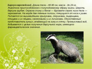 Барсук европейский.Длина тела – 60-90см, масса - до 24кг. Животное приспос