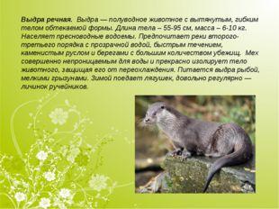 Выдра речная. Выдра— полуводное животное с вытянутым, гибким телом обтекаем