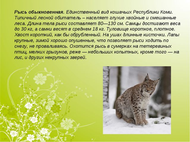 Рысь обыкновенная.Единственный вид кошачьих Республики Коми. Типичный лесной...