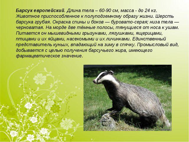 Барсук европейский.Длина тела – 60-90см, масса - до 24кг. Животное приспос...