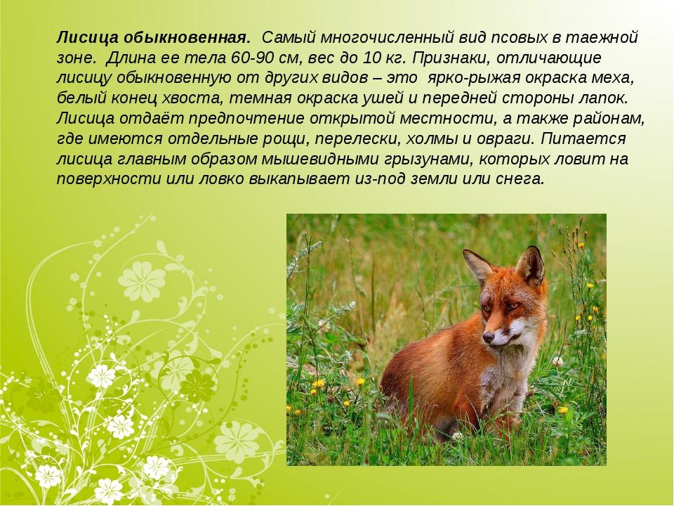 Лисица обыкновенная. Самый многочисленный вид псовых в таежной зоне. Длина е...
