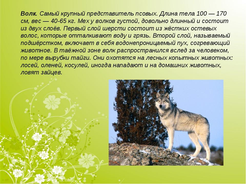 Волк.Самый крупный представитель псовых. Длина тела 100 — 170 см, вес — 40-6...