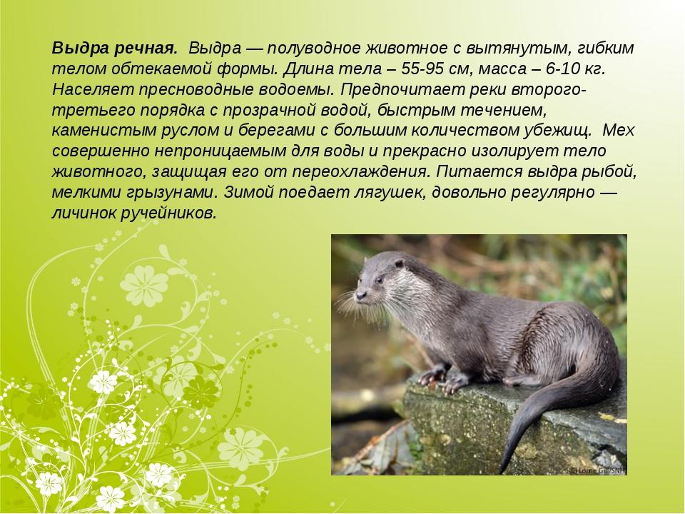 Выдра речная. Выдра— полуводное животное с вытянутым, гибким телом обтекаем...