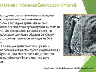 Вендская фауна с побережья Белого моря. Kimberella Кимберелла - один из самых