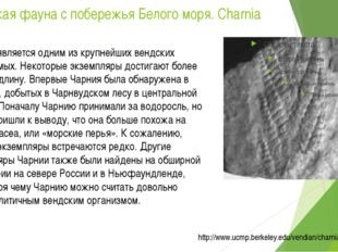 Вендская фауна с побережья Белого моря. Charnia Чарния является одним из круп