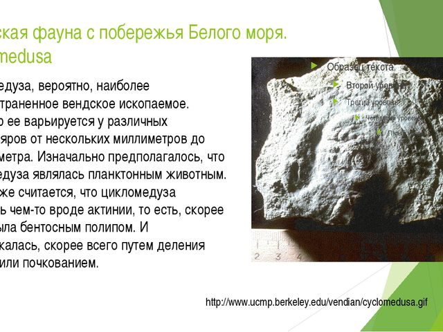 Вендская фауна с побережья Белого моря. Cyclomedusa Цикломедуза, вероятно, на...