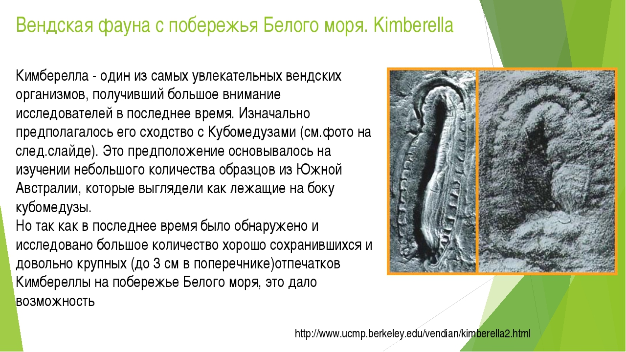 Вендская фауна с побережья Белого моря. Kimberella Кимберелла - один из самых...