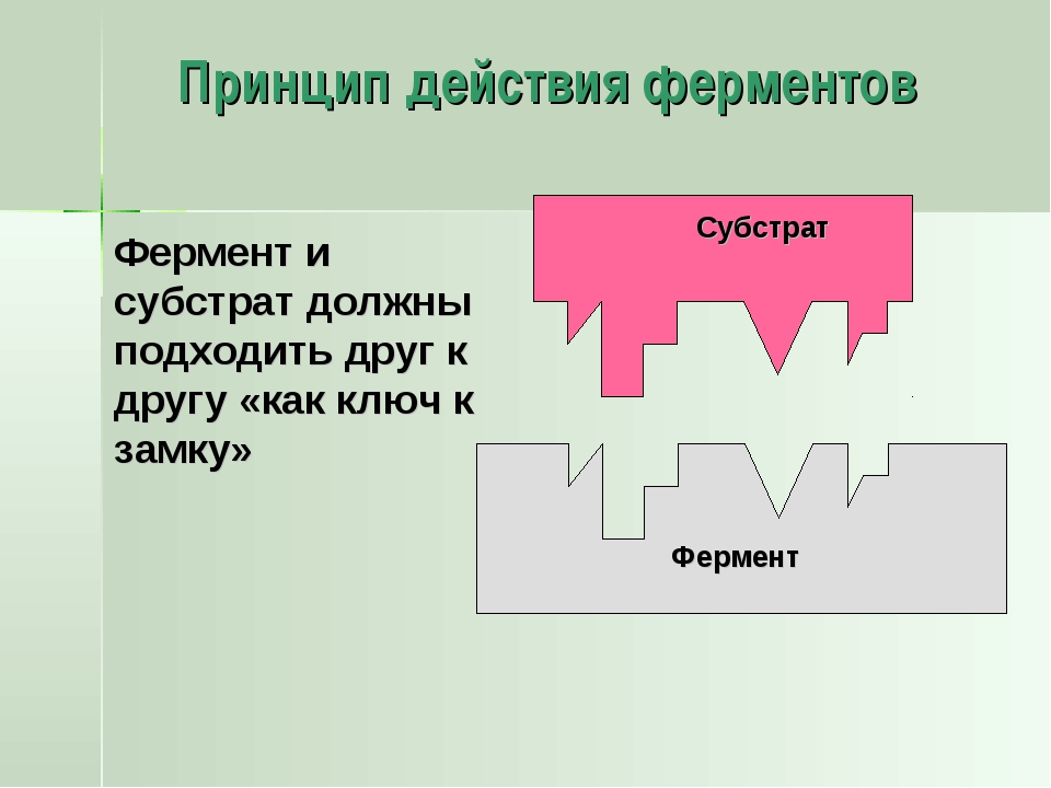 Принцип действия ферментов Фермент Фермент и субстрат должны подходить друг к...