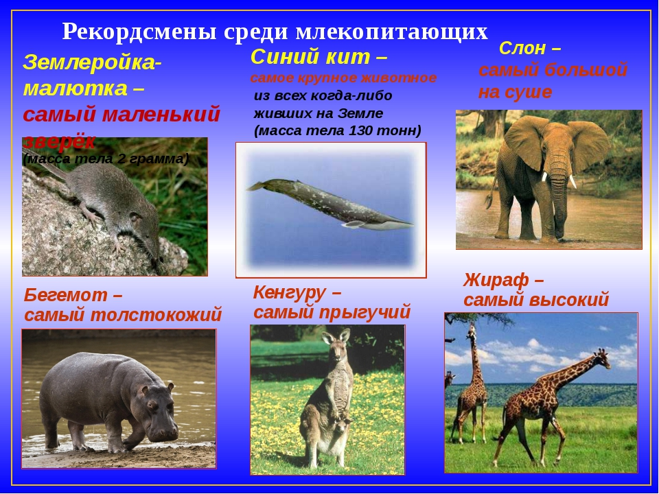Рекордсмены среди млекопитающих