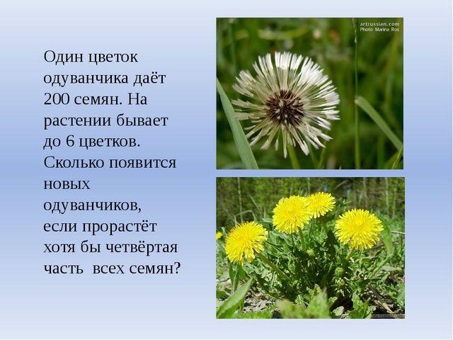 Один цветок одуванчика даёт 200 семян. На растении бывает до 6 цветков. Сколь...