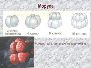 Морула МОРУЛА – шар, состоящий из бластомеров.