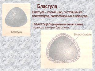 Бластула Бластула – полый шар, состоящий из бластомеров, расположенных в один