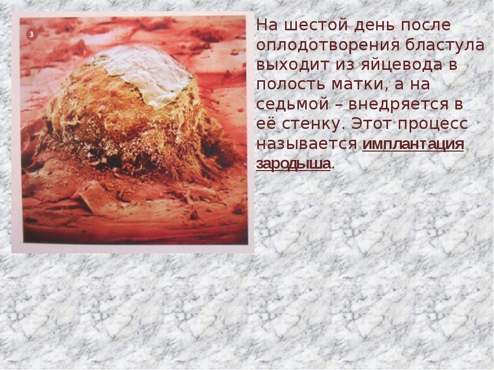 На шестой день после оплодотворения бластула выходит из яйцевода в полость ма...