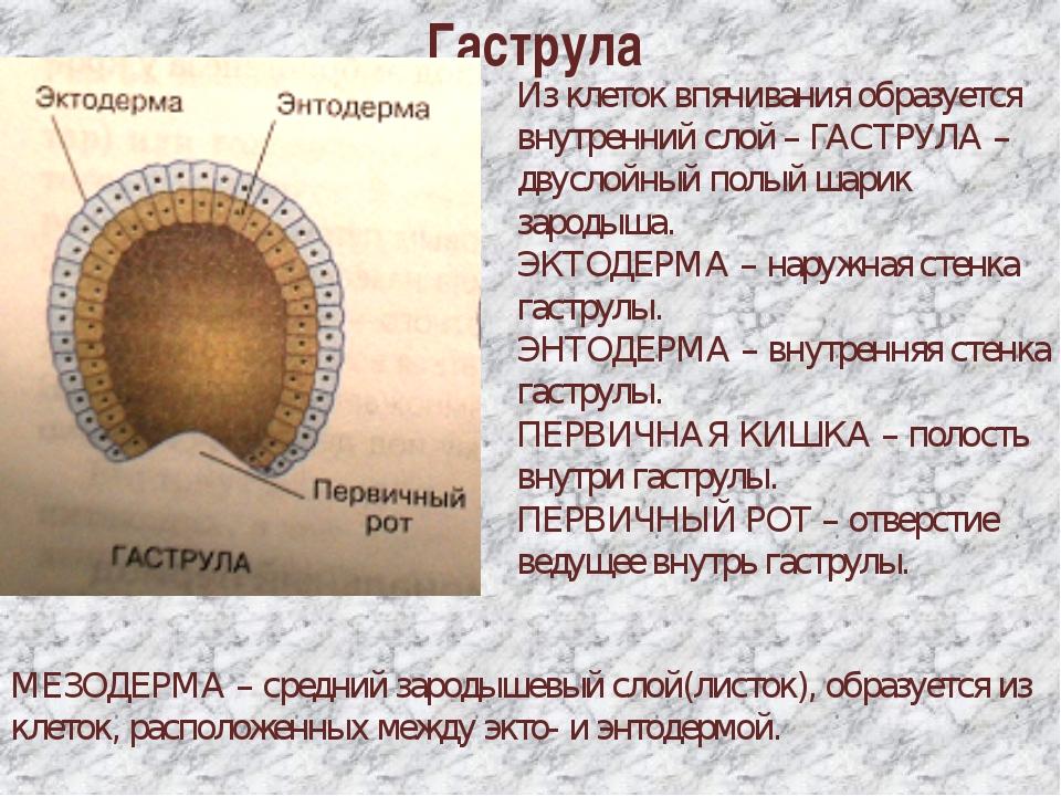 Гаструла Из клеток впячивания образуется внутренний слой – ГАСТРУЛА – двуслой...