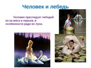 Человек и лебедь Человек преследует лебедей из-за мяса и перьев, в особенност