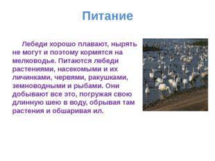 Питание Лебеди хорошо плавают, нырять не могут и поэтому кормятся на мелковод