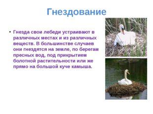 Гнездование Гнезда свои лебеди устраивают в различных местах и из различных в