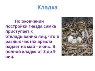 Кладка По окончании постройки гнезда самка приступает к откладыванию яиц, что