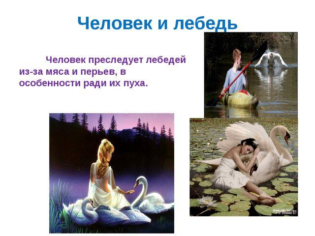 Человек и лебедь Человек преследует лебедей из-за мяса и перьев, в особенност...