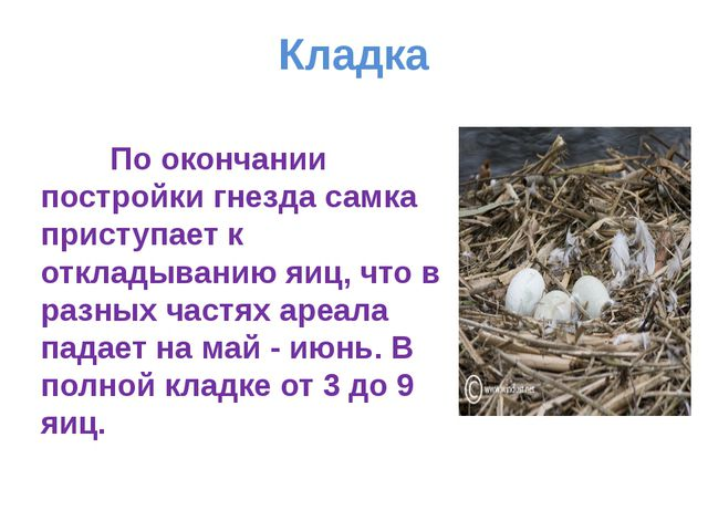 Кладка По окончании постройки гнезда самка приступает к откладыванию яиц, что...