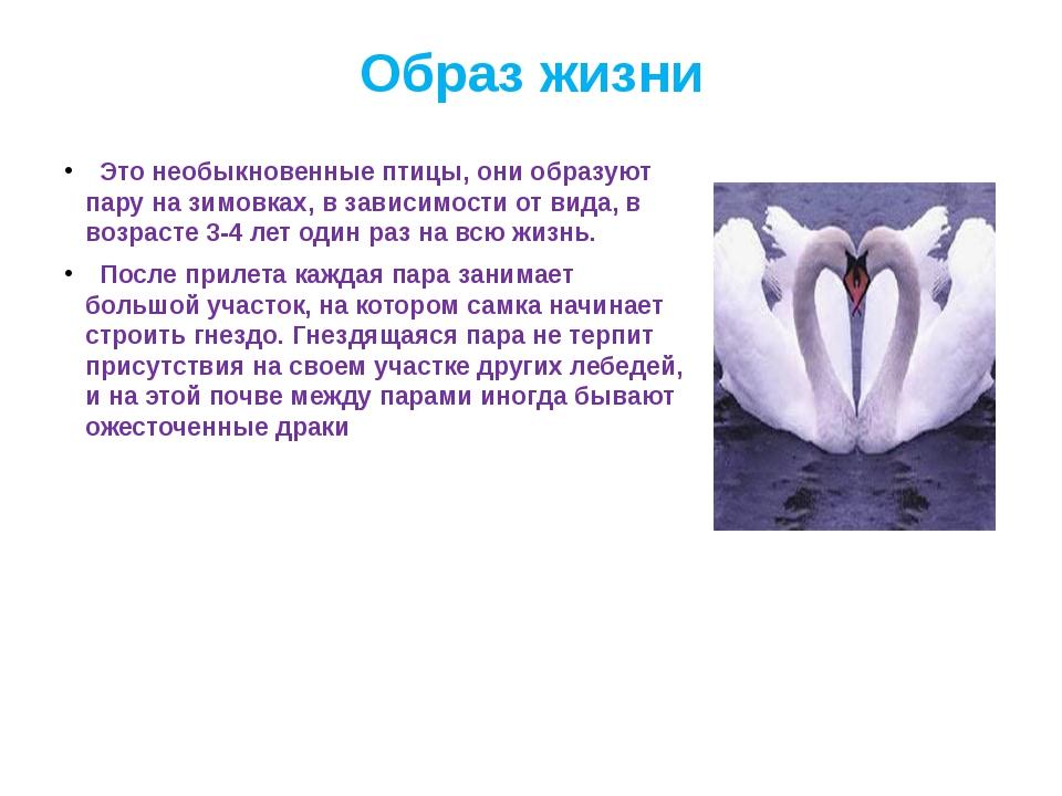 Образ жизни Это необыкновенные птицы, они образуют пару на зимовках, в зависи...