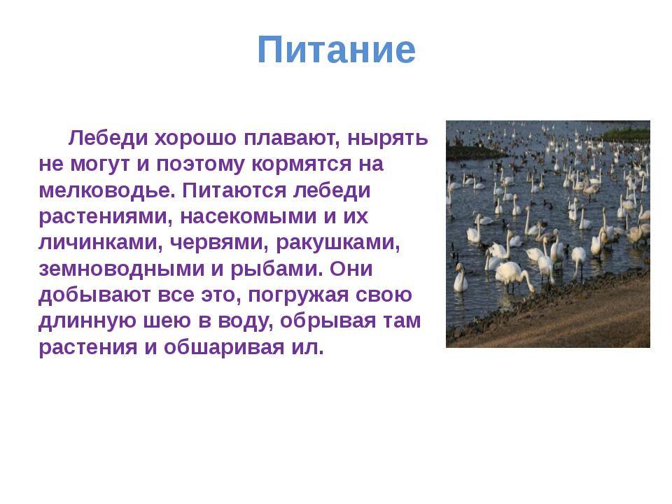 Питание Лебеди хорошо плавают, нырять не могут и поэтому кормятся на мелковод...
