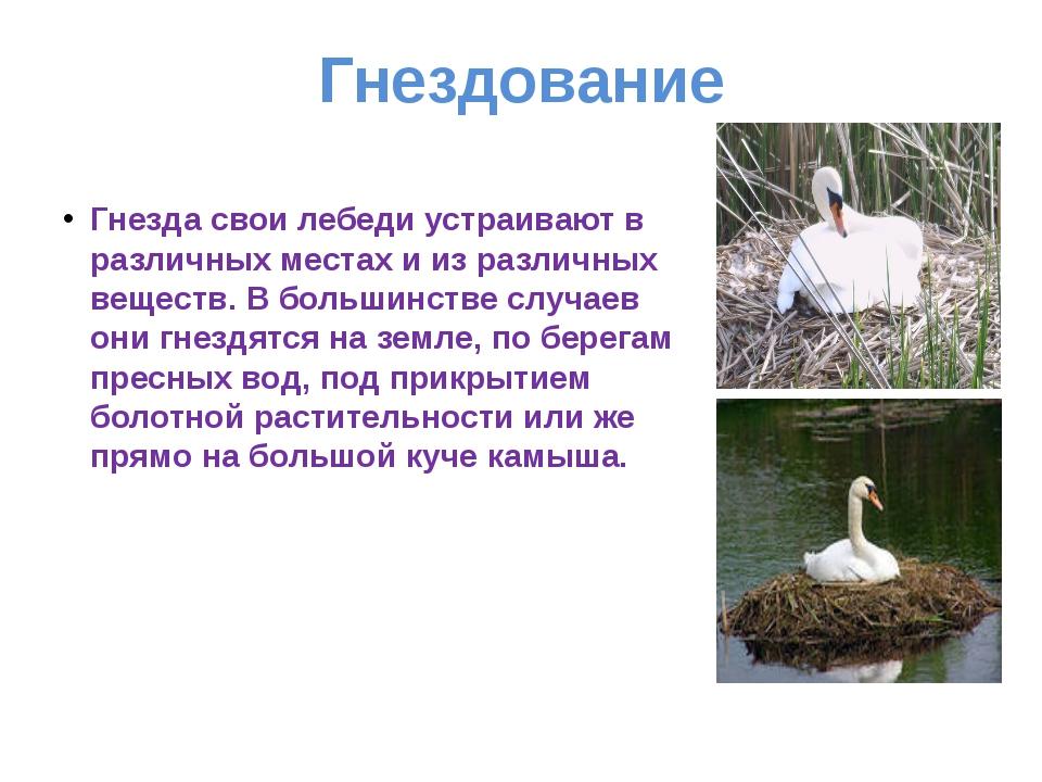 Гнездование Гнезда свои лебеди устраивают в различных местах и из различных в...