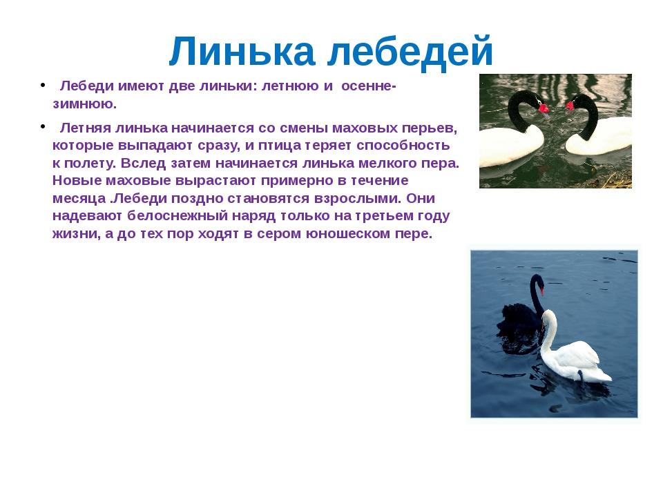 Линька лебедей Лебеди имеют две линьки: летнюю и осенне-зимнюю. Летняя линька...